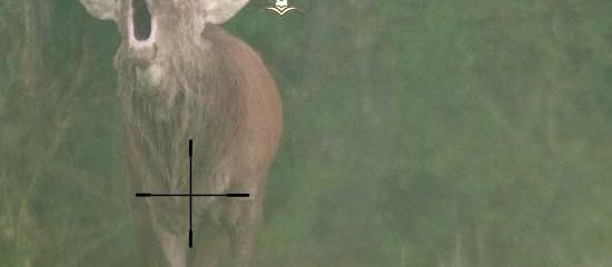 Chasser le cerf au brame : dangereux, inutile